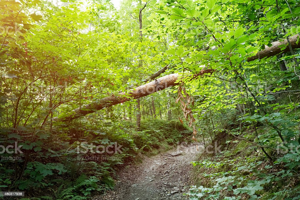 Forest path with tree trunk stock photo