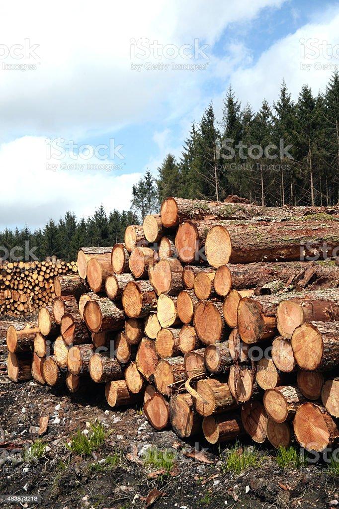 Forest pine trees log trunks stock photo