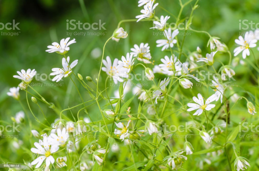 Forest plant stellate flowers in spring with small white flowers stock photo