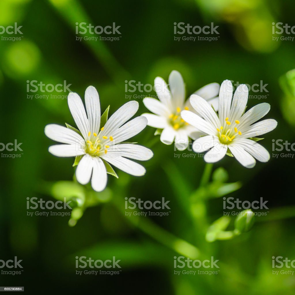 Forest plant stellate flowers in spring with white flowers stock photo