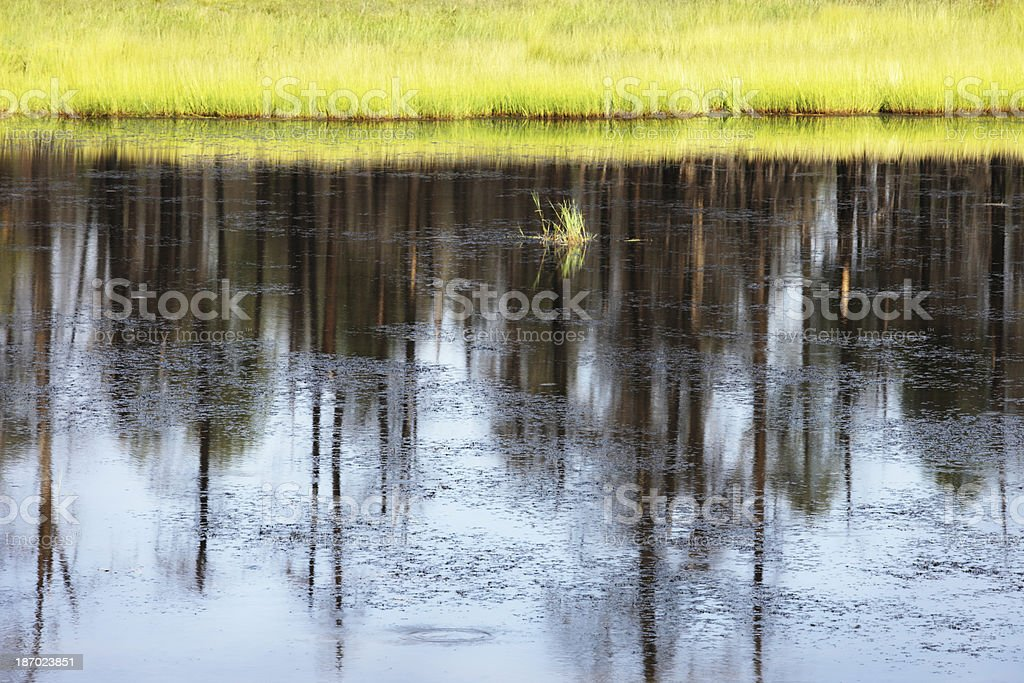 Forest Pond Reflection Reed Grass Shoreline royalty-free stock photo