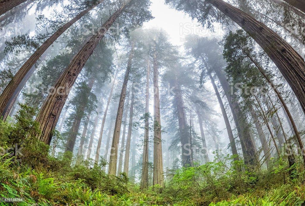 Forest Primeval,  Redwoods National Park stock photo