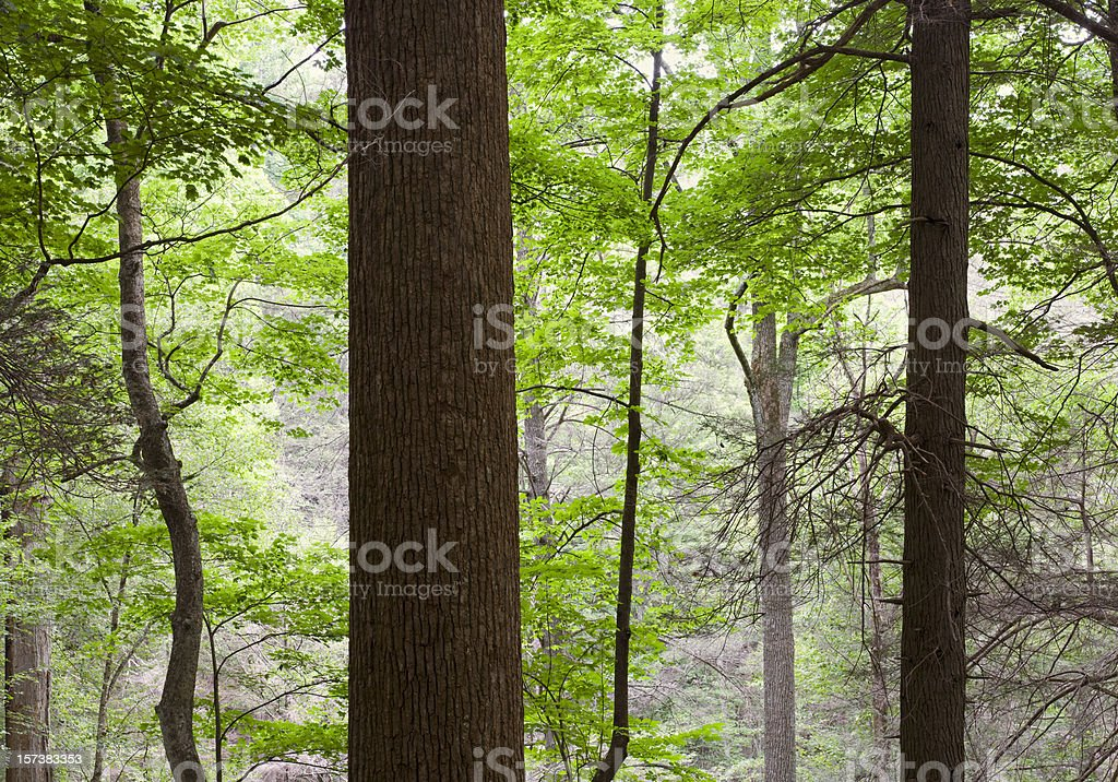 Forest Primeval Series (XXL) stock photo