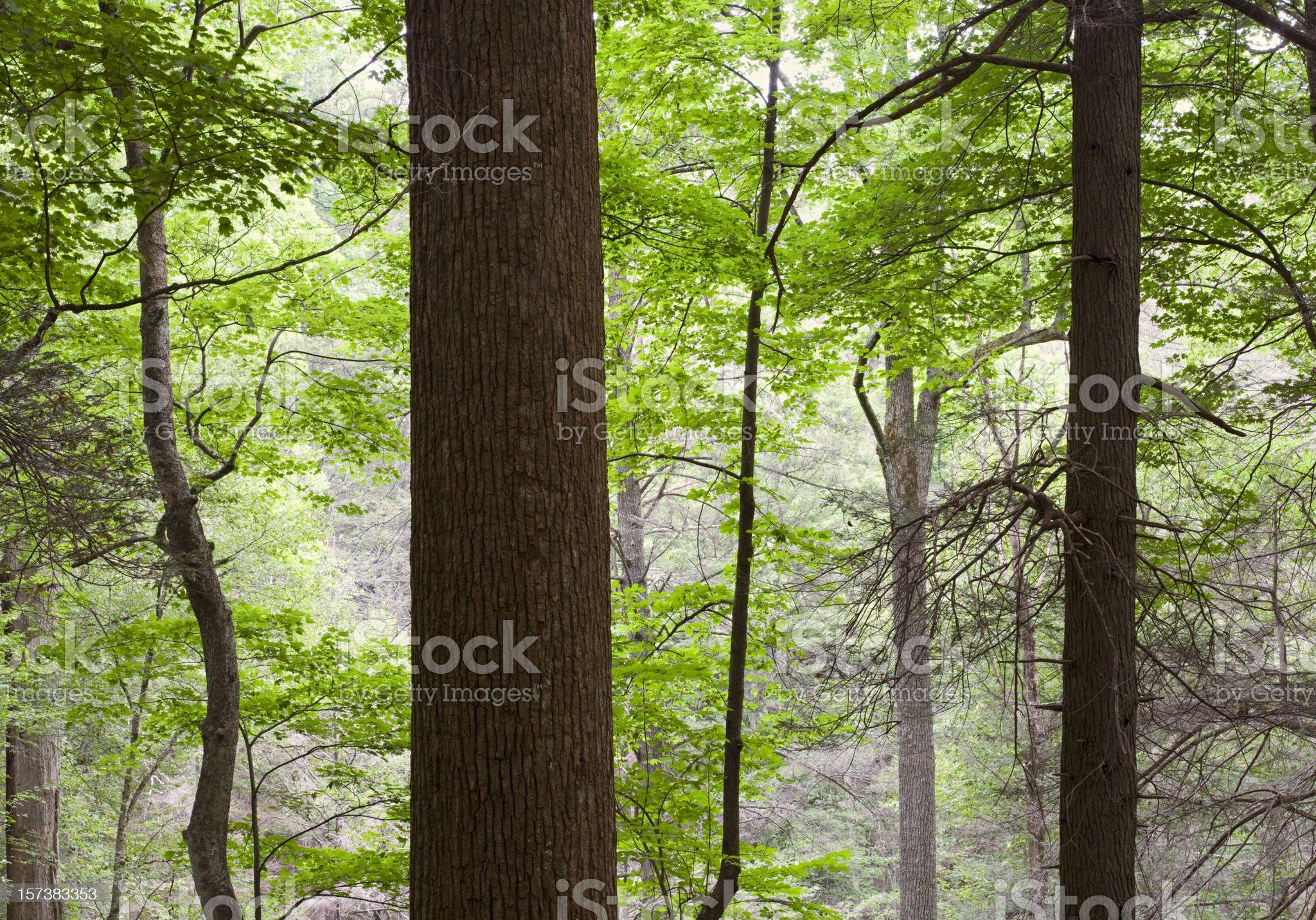 Forest Primeval Series (XXL) royalty-free stock photo