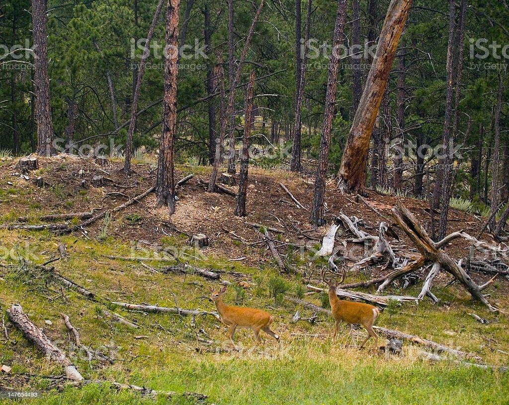 Forest, Rain, & Deer stock photo
