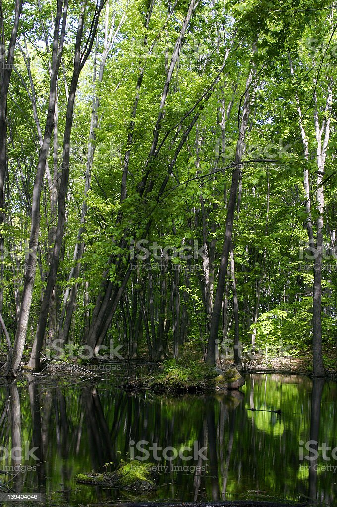 Forest reflections royalty-free stock photo