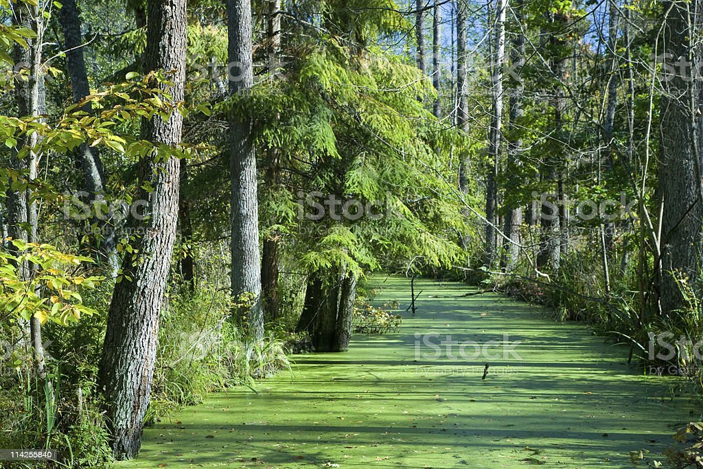 Forest river duckweed covered among alder trees stock photo