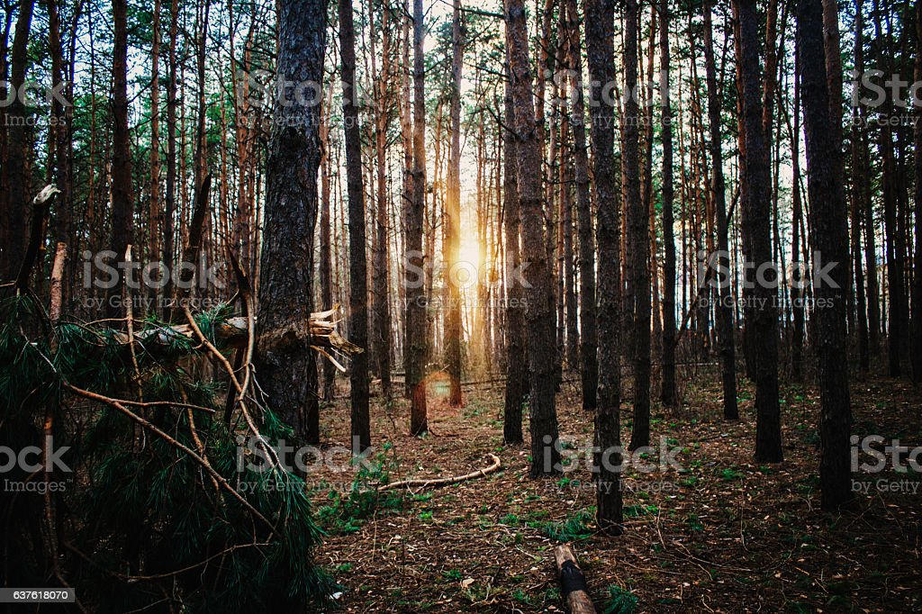 Forest Road Under Sunset Sunbeams stock photo
