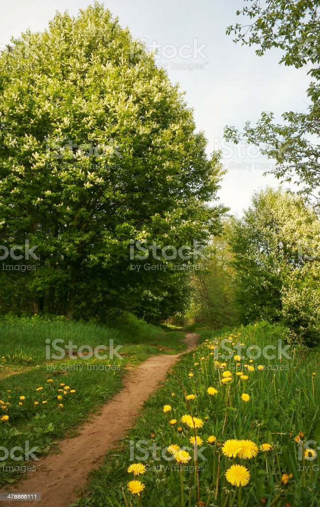 Forest road with dandelions royalty-free stock photo