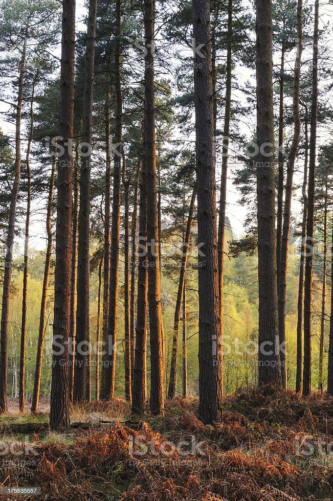 Forest Scene Morning Sunlight royalty-free stock photo