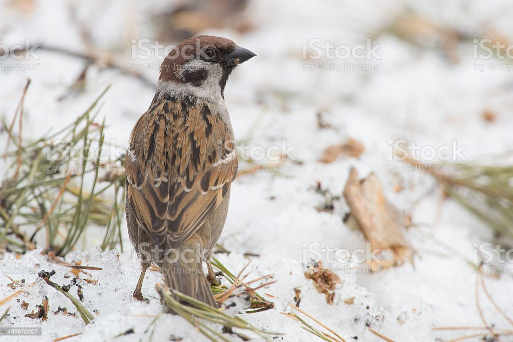 forest sparrow stock photo