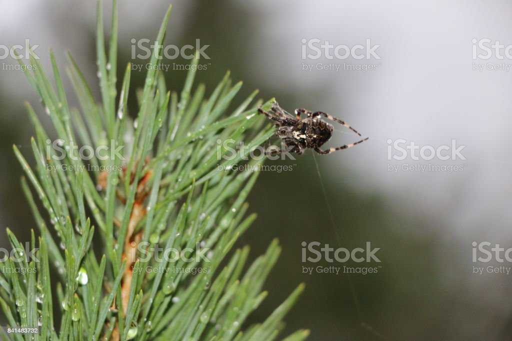 A forest spider weaves a web on a high pine branch stock photo