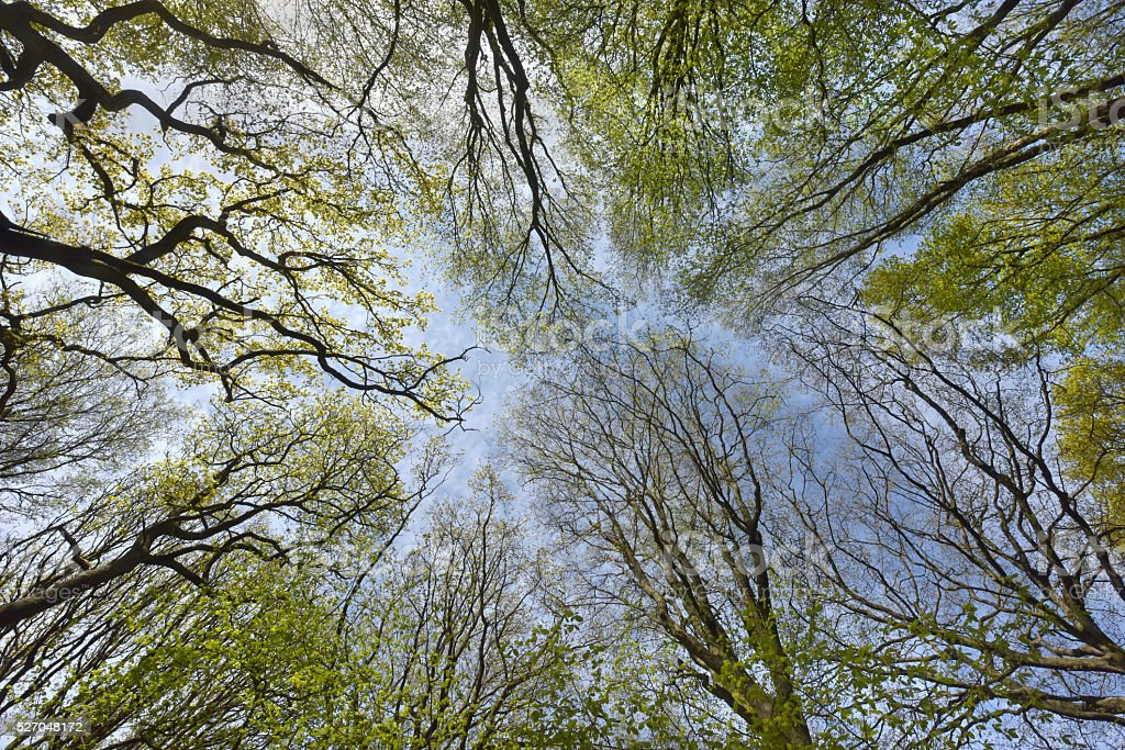 Forest Spring Canopy stock photo