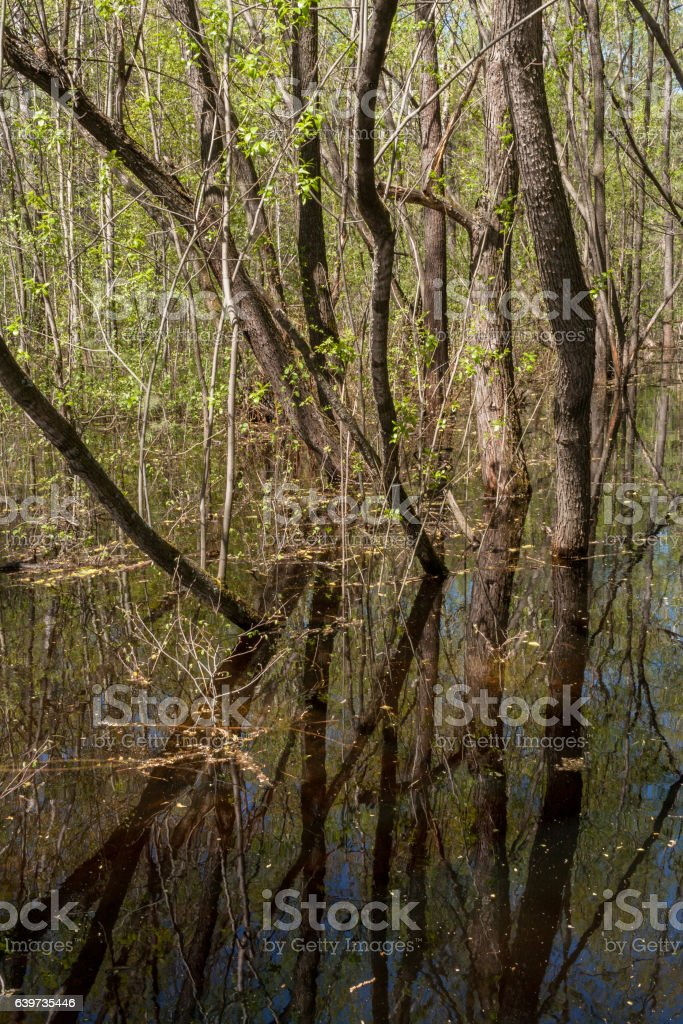 Forest spring landscape. Group of trees and reflection in water. stock photo