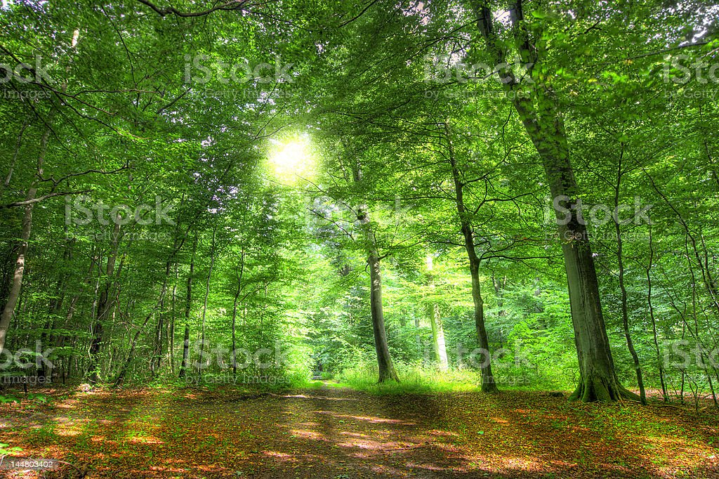 Forest sun royalty-free stock photo