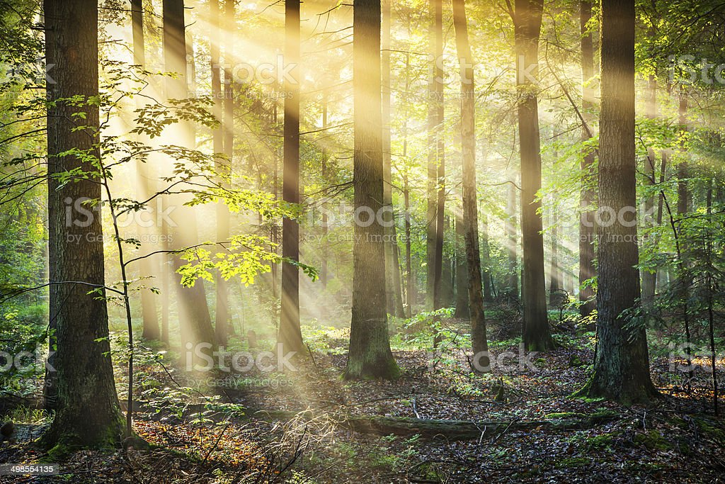 Forest - Sun Rays - XXXL HDR image stock photo