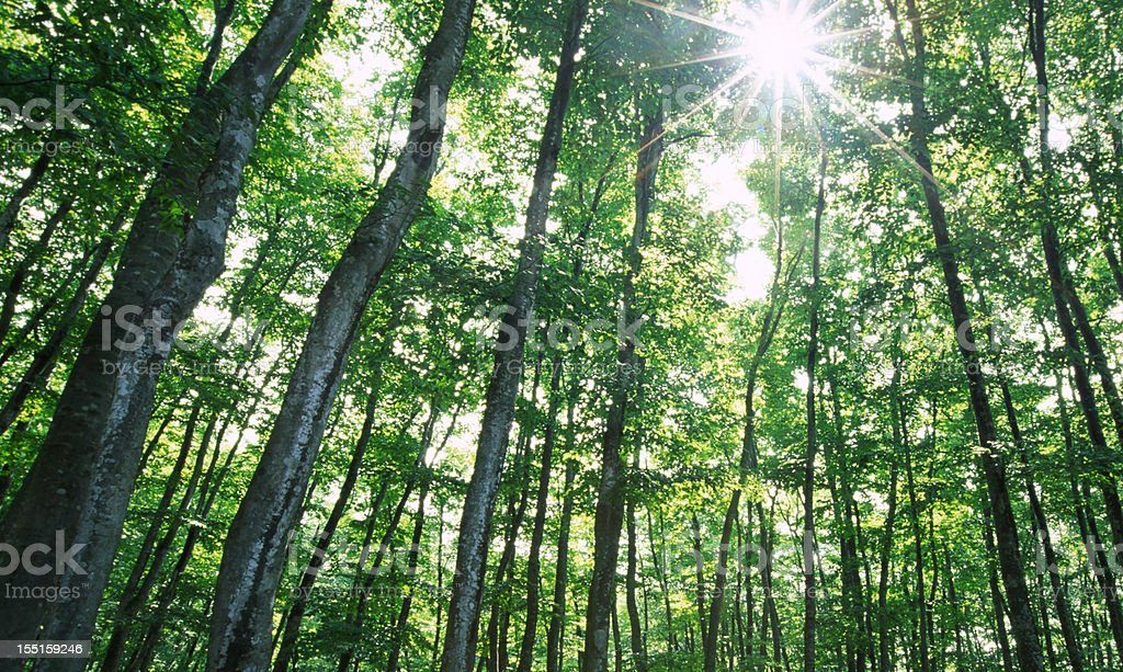 Forest Sunlight royalty-free stock photo