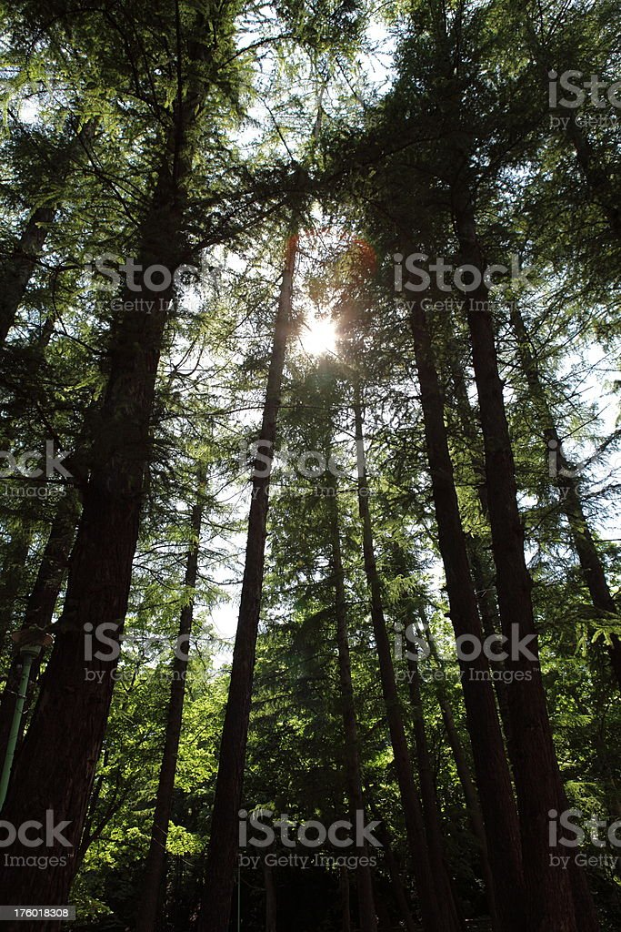 Forest Sunlight (XXXL) royalty-free stock photo