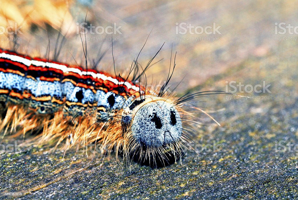 Forest tent caterpillar backside macro stock photo