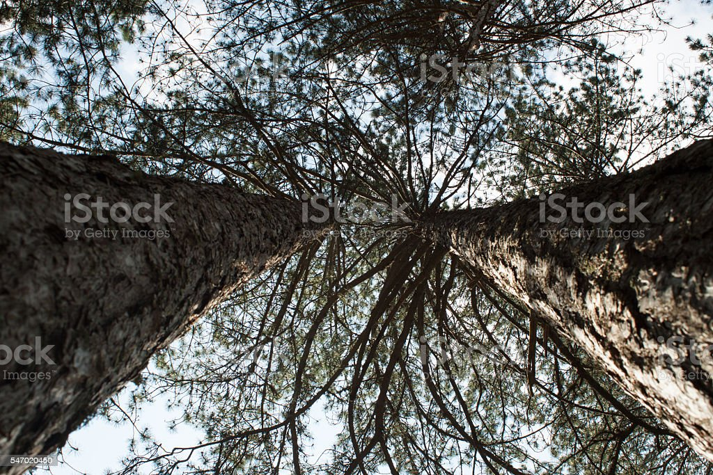 Forest, the crown of tree, trunks of trees heavenward stock photo