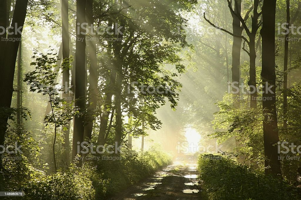 Forest trail at dawn royalty-free stock photo