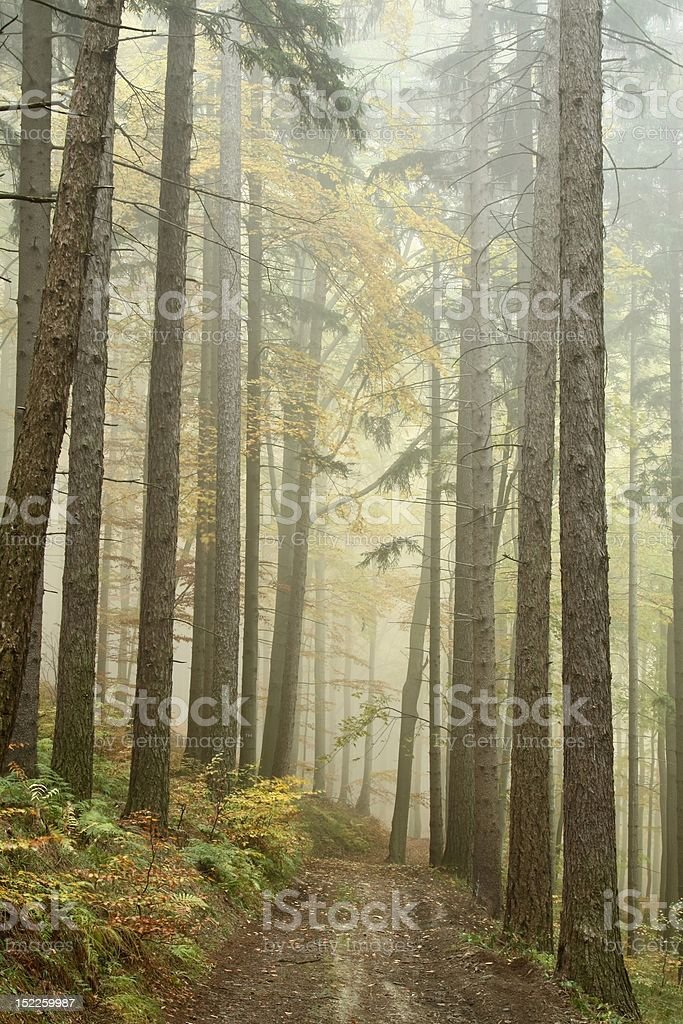 Forest trail on a foggy morning royalty-free stock photo