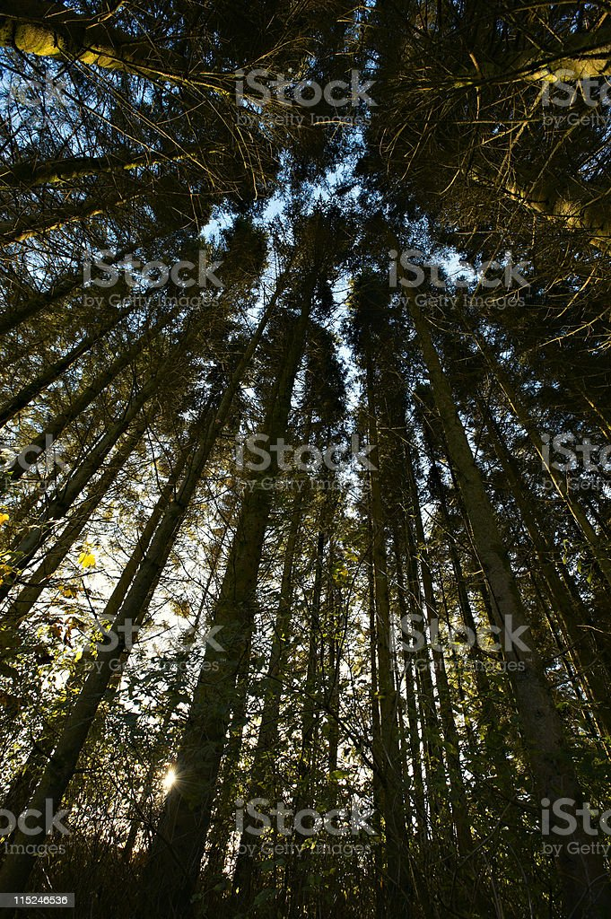 forest tree canopy royalty-free stock photo