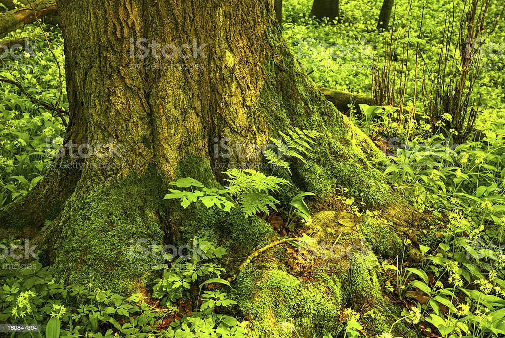 Forest Tree royalty-free stock photo