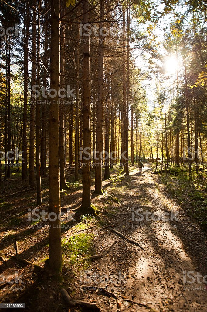 Forest trees in fall royalty-free stock photo