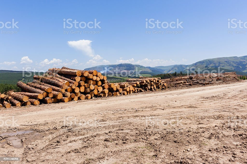 Forest Trees Logs Stacks stock photo