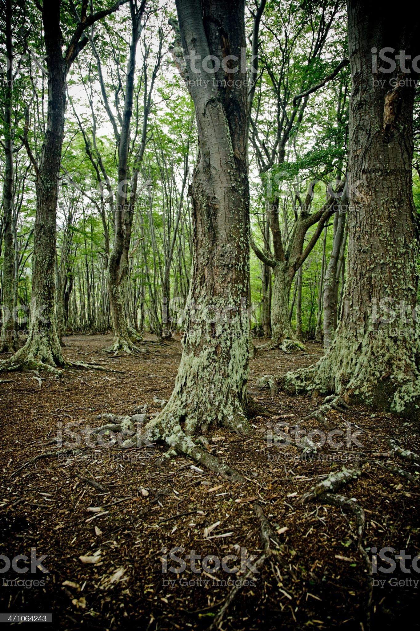 Forest Ushuaia Argentina Tierra del Fuego royalty-free stock photo
