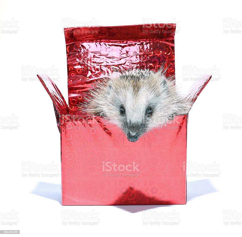 Forest wild hedgehog get out of the gift box isolated stock photo
