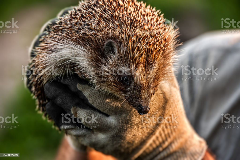 forest wild prickly hedgehog in human hands stock photo