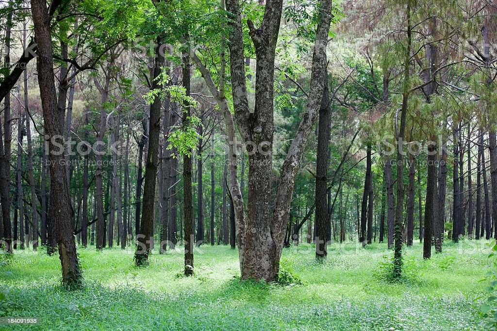Forest with a carpet of lush grass. royalty-free stock photo