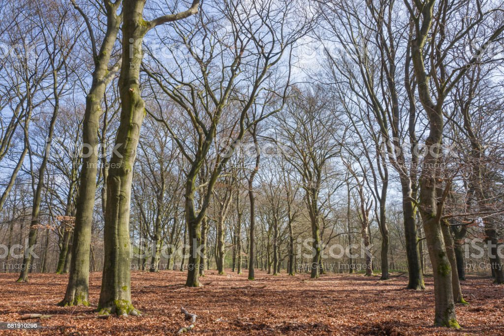 Forest with beech trees. stock photo