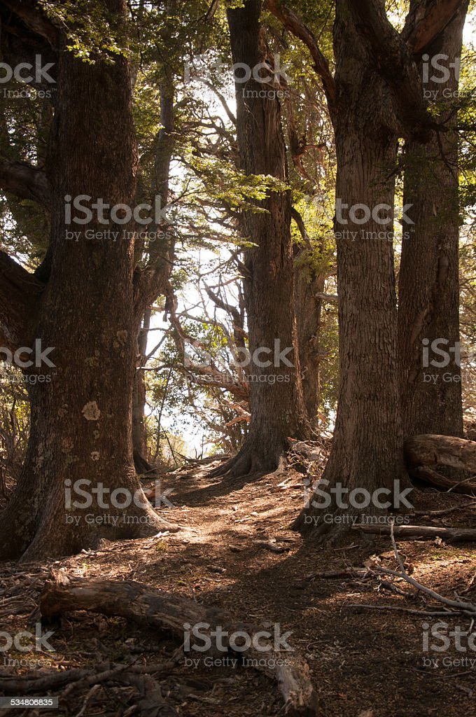 forest with big trees in patagonia argentina esquel stock photo