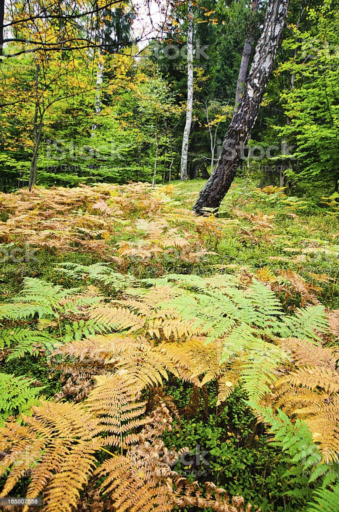 Forest with ferns royalty-free stock photo