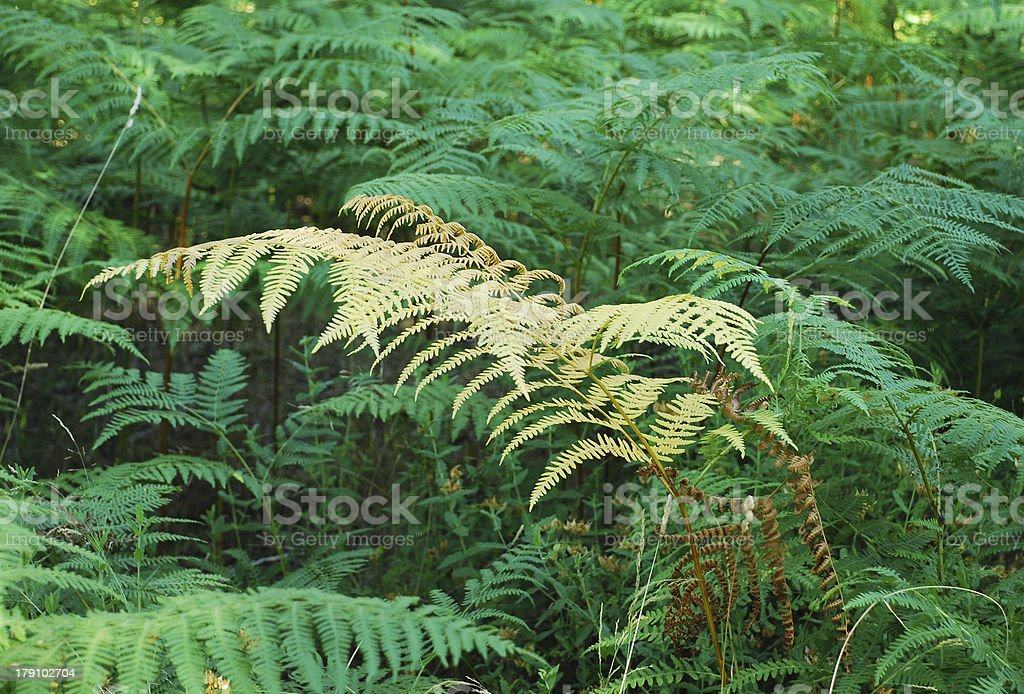Forest with green and yellow ferns royalty-free stock photo