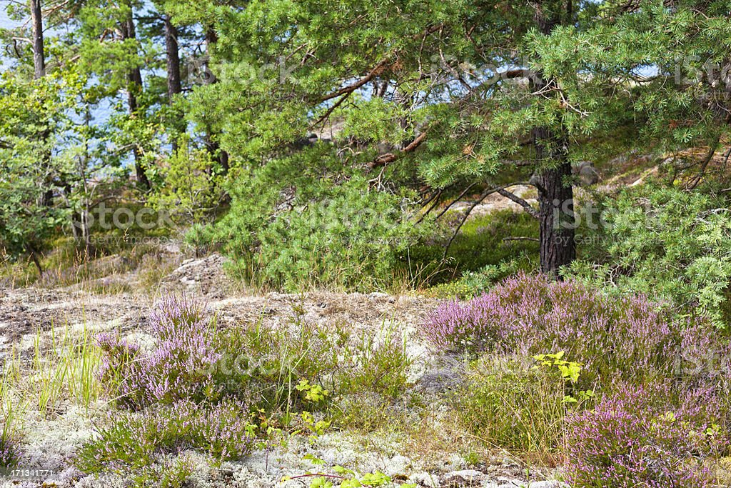 Forest with heather in Stockholm Archipelago, Sweden royalty-free stock photo