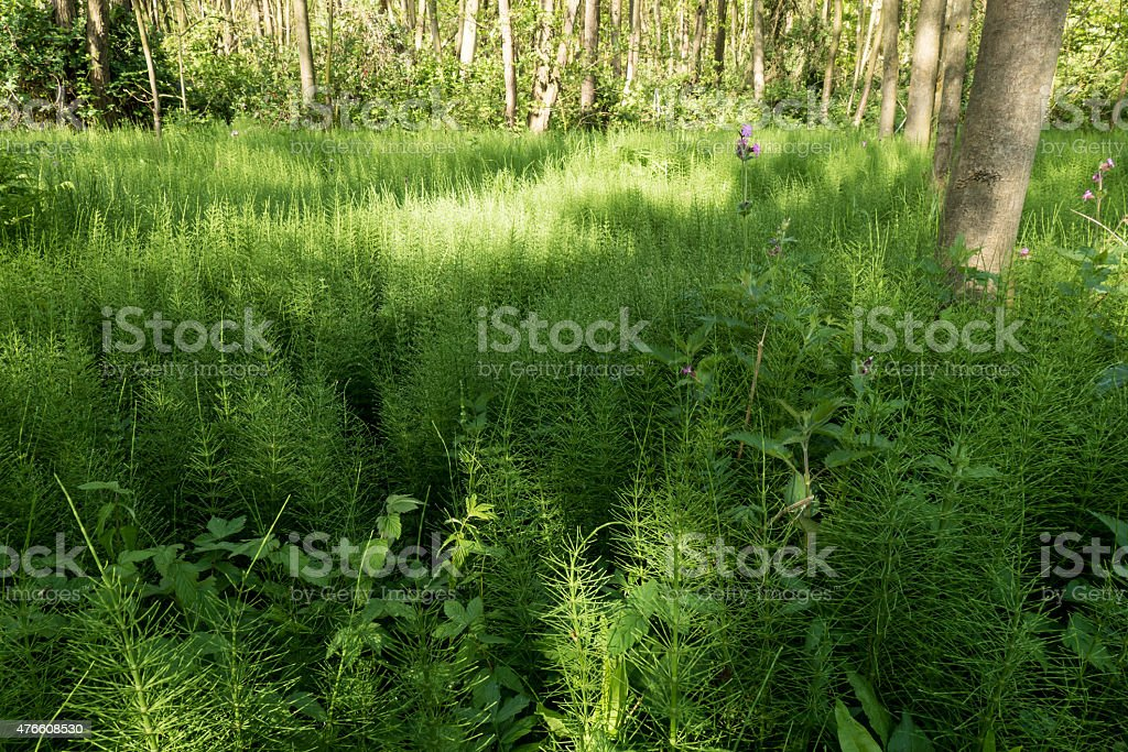 Forest with Horsetail. stock photo