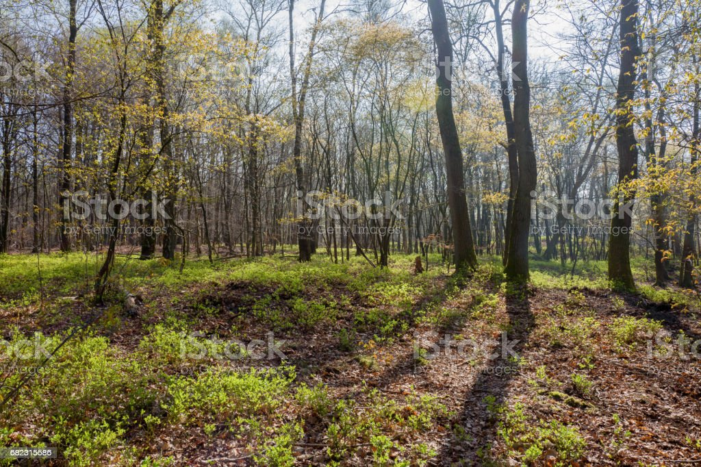 Forest with oak trees and blueberries. stock photo