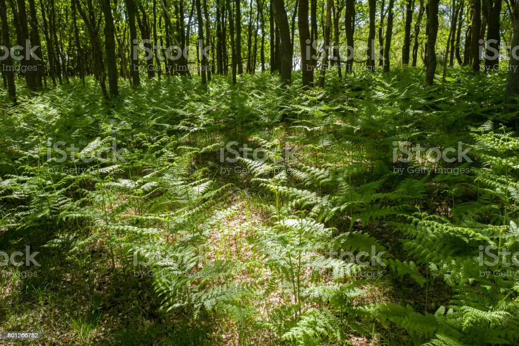 Forest with oak trees and ferns. stock photo