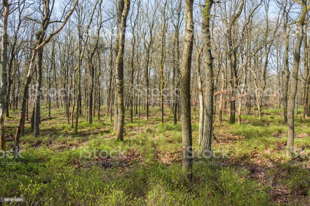 Forest with oak trees. stock photo
