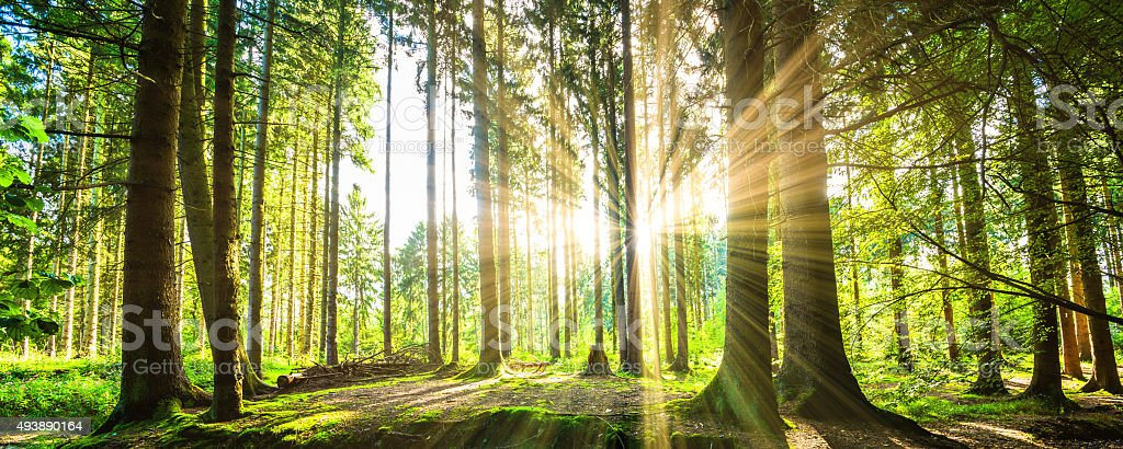 Forest with Sun royalty-free stock photo
