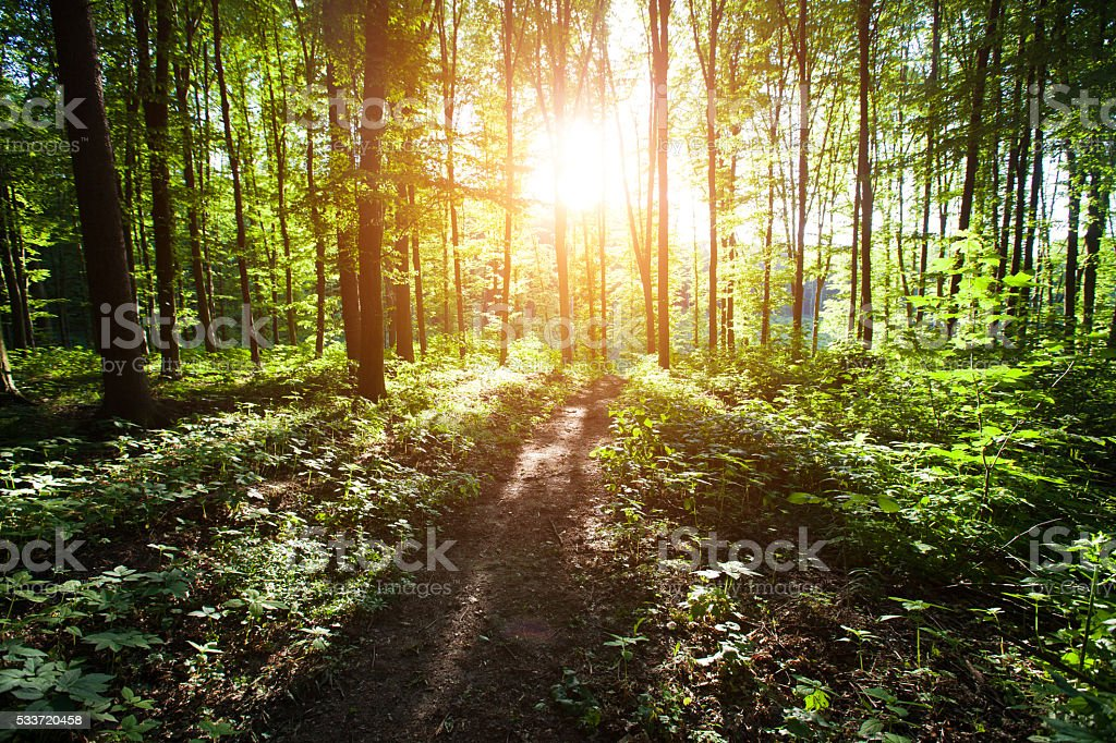 Forest with sunlight during sunset stock photo