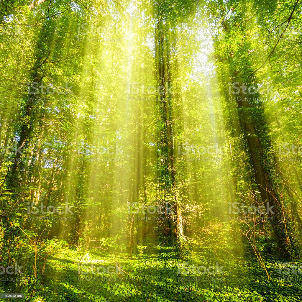 Forest with sunrays stock photo