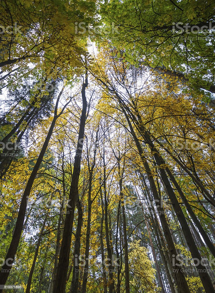 Forest with Tall Trees in Autumn - Bosque con Arboles stock photo