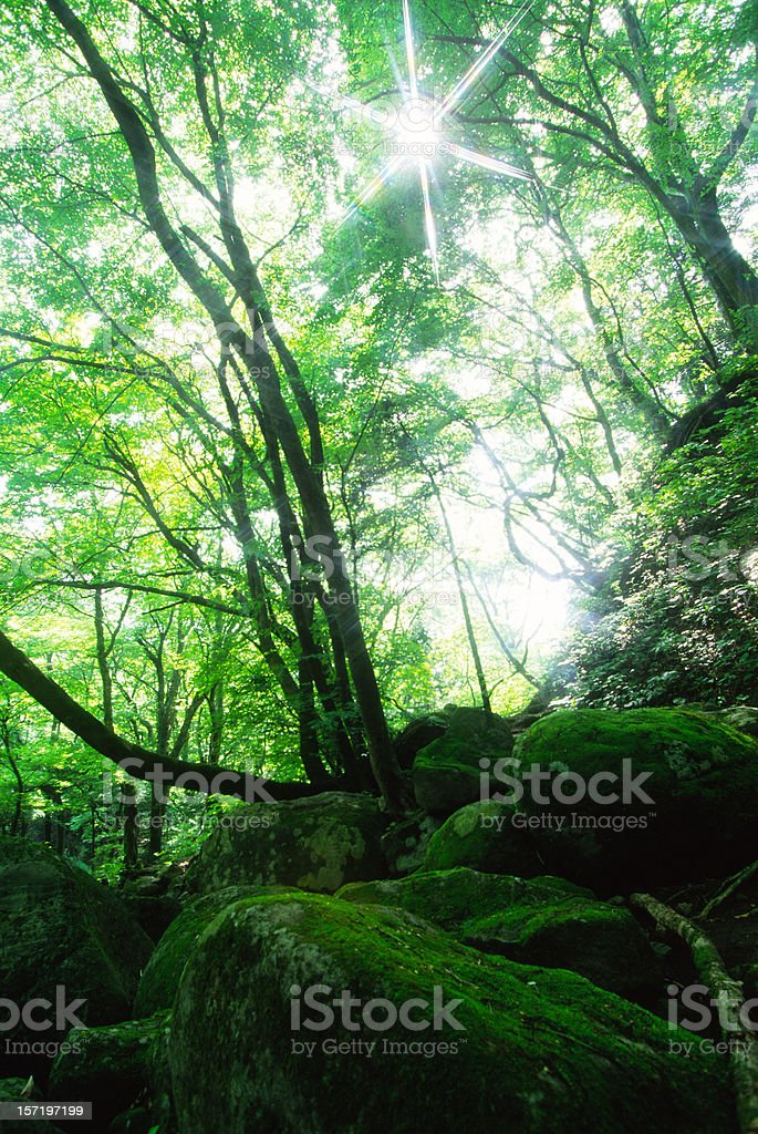 Forest with the sun behind royalty-free stock photo