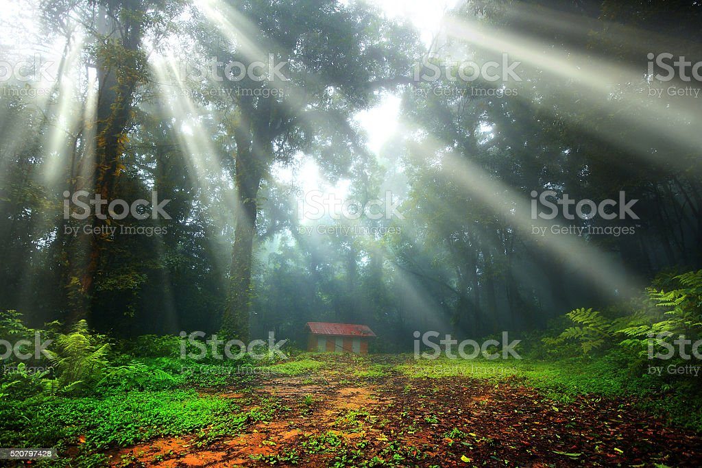 forest with the sun rays stock photo