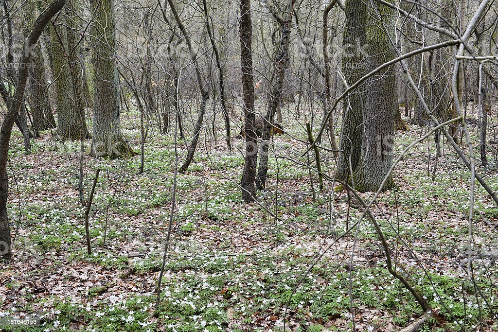 Forest with Wood Anemone (wind flower) stock photo